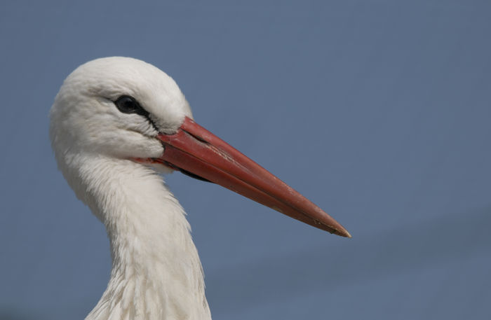 white stork White Stork Animal Themes Animal Wildlife Animals In The Wild Beak Beauty In Nature Bird Cicogna Ciconia Ciconia Close-up Day Nature No People One Animal Outdoors Pelican Stork White Color White Stork