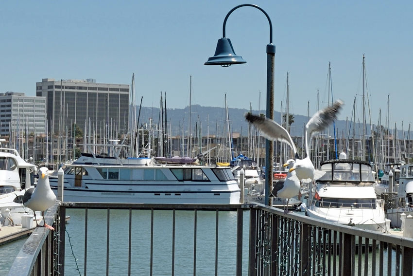 California Gulls Take Off 1 Larus Californicus Emeryville Marina Seagulls Forager Pacific Coasts Diet: Most Anything Including Other Young Birds Birds Birdwatching Birds In Flight Birds_collection Bird Photography Sailboats Sailboat Masts Yachts