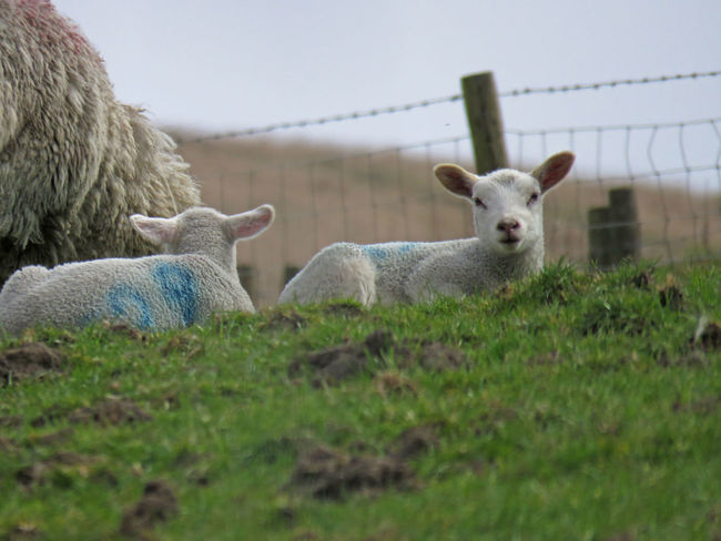 Animal Themes Animals Calderdale Cute Day Domestic Animals Field Grass Green Color Hills Lamb Lamb Lambs Livestock Mammal Nature No People Non-urban Scene Outdoors Rural Scene Sheep Spring Springtime Yorkshire Young
