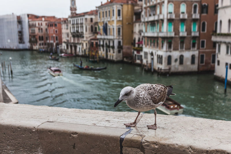 Young seagull on the bank of the canal grande, venice, italy