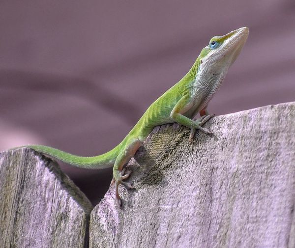 Green anole in Texas Anole Lizard Anole Reptile Reptile Lizard Animal Themes Animal Wildlife Animals In The Wild One Animal Animal Nature Focus On Foreground Bearded Dragon Animal Body Part Textile Day Wall - Building Feature No People Close-up Side View Outdoors Vertebrate