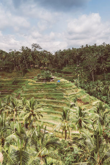 Bali Rice Paddy Plant Growth Cloud - Sky Tree Sky Landscape Nature Beauty In Nature Tranquil Scene Scenics - Nature Green Color Day Tranquility Environment No People Land Field Outdoors Non-urban Scene Grass Rice Paddy Bali Indonesia Bali