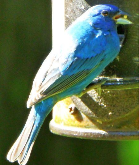 Bluebirds One