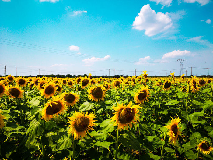 Flower Head Flower Rural Scene Agriculture Sunflower Summer Horticulture Field Crop  Cereal Plant Wildflower Dandelion Seed Daisy Gerbera Daisy Pollen Osteospermum Blooming Hibiscus Poppy Thistle In Bloom Blossom Plant Life Botany Stamen Barrel Cactus Uncultivated Dandelion Oilseed Rape