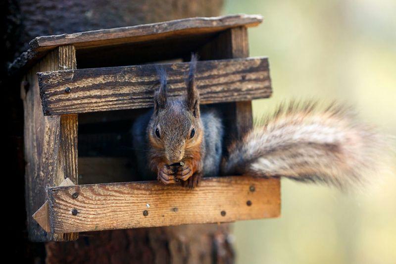 Squirrel Belka