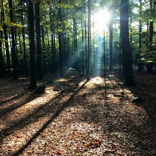 Sunbeam Forest Nature Sunlight Tree Autumn Leaf Beauty In Nature Tree Trunk WoodLand Scenics Tranquility Tranquil Scene Day Outdoors Sun Shadow No People Growth Branch