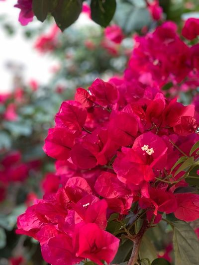 Flowering Plant Flower Plant Beauty In Nature Pink Color Freshness Petal No People Red Day Nature Focus On Foreground Growth Inflorescence Vulnerability  Close-up Fragility Flower Head Outdoors Bougainvillea