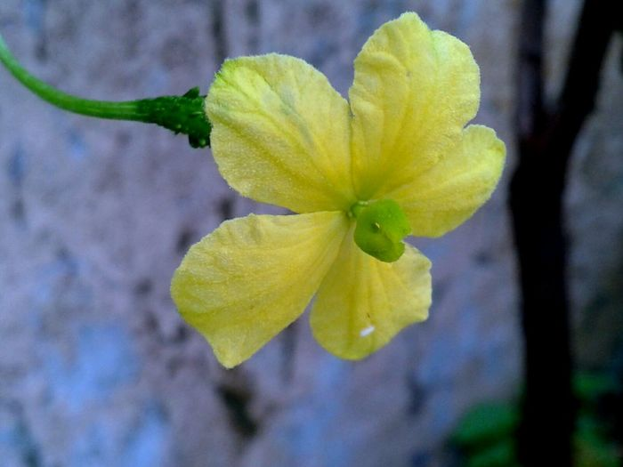 Colour Of Life Flower Yellow Flower No Edit No Filter Colourfull Nature Popular Flower Of Bitterguard