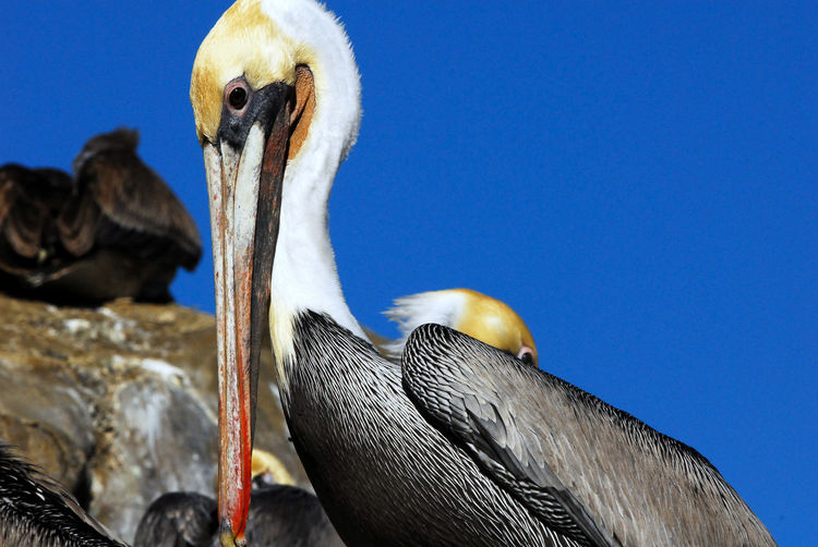 Close-up of pelican against blue sky