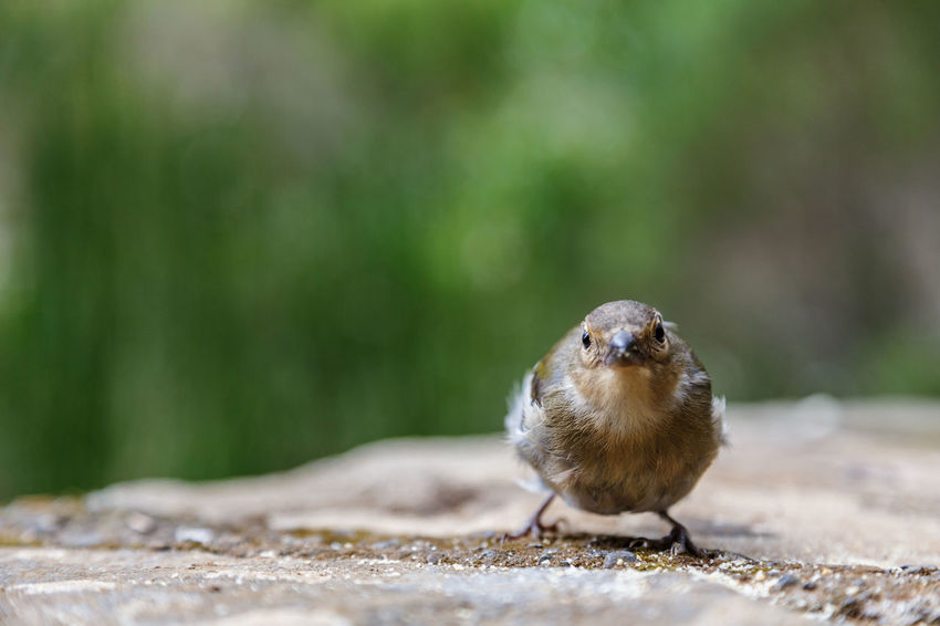 Animal Themes Animal Wildlife Animals In The Wild Bird Chaffinch Close-up Day Nature No People One Animal Outdoors Perching Retaining Wall Sparrow