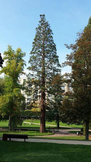 Seqouia Trees