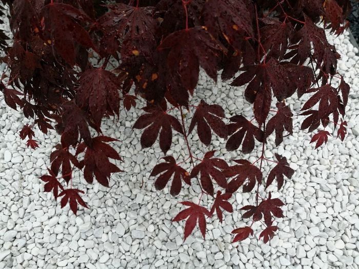 Japanese red maple tree against white marble pebbles Acer japonicum Zen Garden Zen Tower Zen Rockery White Marble Pebbles Acer Japonicum Red Maple Leafs Japanese Red Maple Ink Close-up Maple Leaf Backgrounds Textured  Leaf Vein Maple Abstract Backgrounds Detail Bark Leaves Natural Pattern Rugged Rough Maple Tree Full Frame