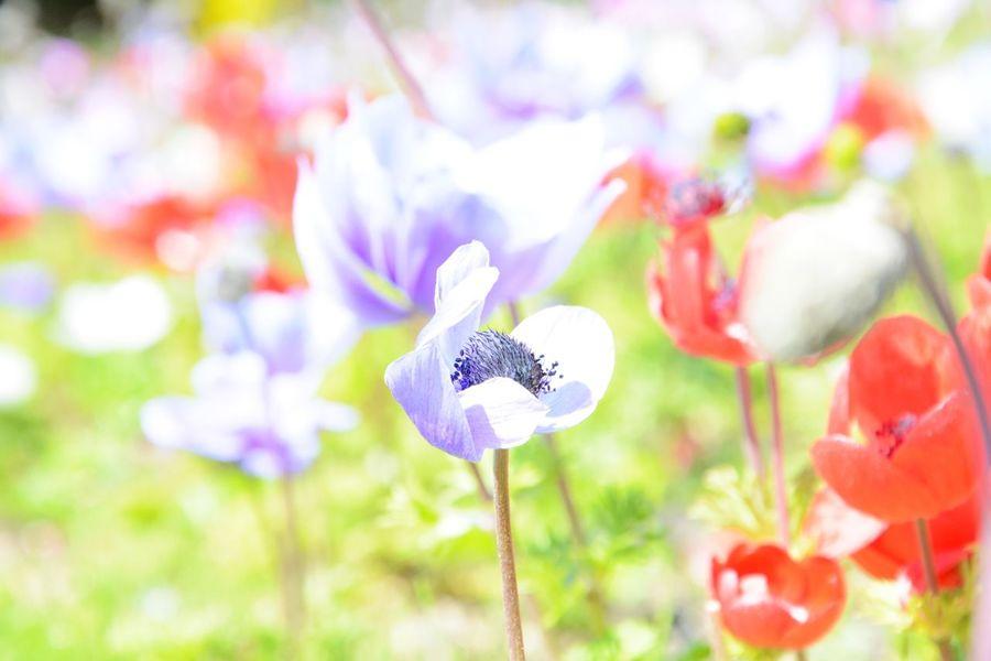 flower アネモネ Flowers 本栖湖 Happy 花