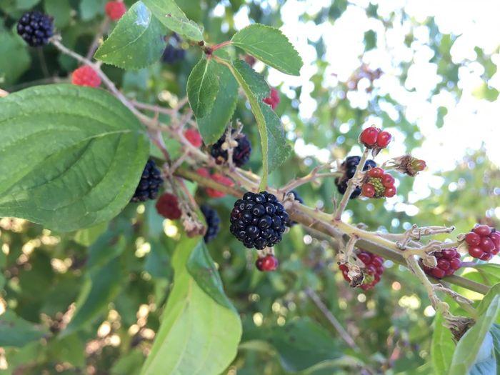 Blackberries Bogurtlen Delicious Yazmeyveleri Turkey Meyve Siyahmeyveler Karadeniz
