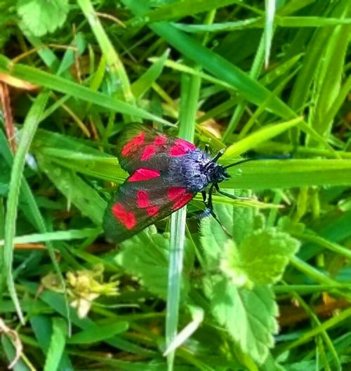 Flying Valentine.. Insect Photography Mother Nature Moth Tenticles Flying Insect Red Wings Nature_collection