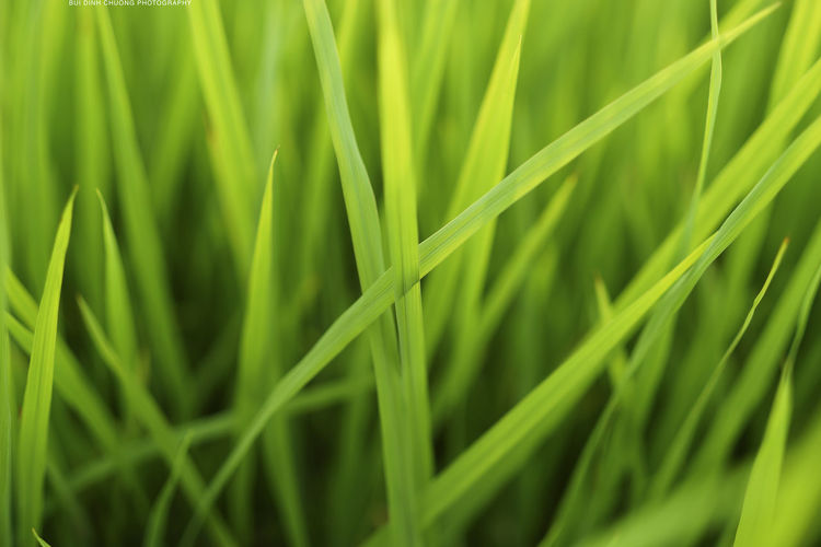 Agriculture Backgrounds Beauty In Nature Blade Of Grass Cereal Plant Close-up Day Field Freshness Full Frame Grass Green Color Growth Leaf Nature No People Outdoors Rice Paddy