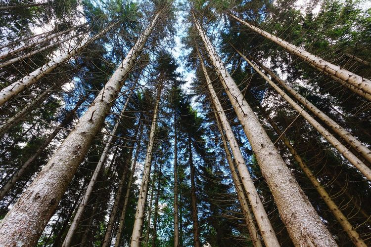 Forest view from the trunks Perspective Nature Trees Bottom Ground Ground Level View Natural Bamboo - Plant Bamboo Grove Sky Directly Below Pine Woodland Needle - Plant Part WoodLand Tall - High Pine Tree Pinaceae