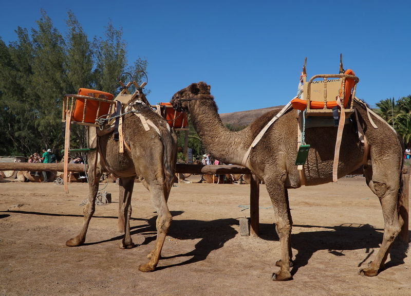 camels 1 Fuerteventura Animal Themes Camel Camel Tours Clear Sky Day Domestic Animals Fun Park Livestock Mammal Nature No People Outdoors Sand Shadow Sky Sunlight Tree Working Animal