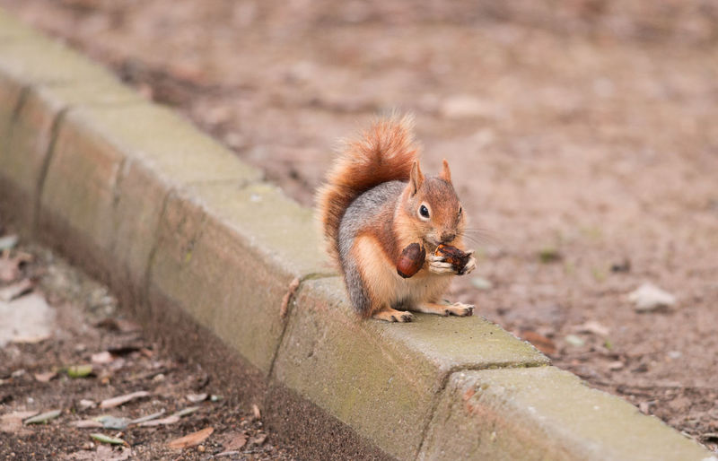 Close-up of eurasian red squirrel eating nut
