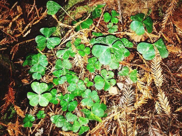 Foilage...Mendocino Redwoods Backgrounds Full Frame Close-up Green Color