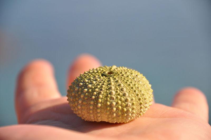 Close-up of hand holding sea hurchin