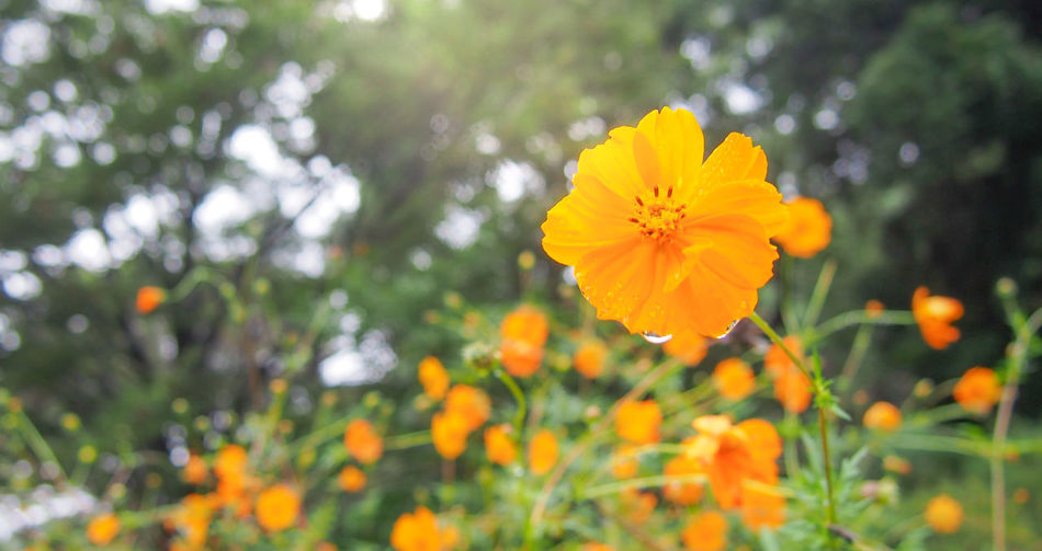Fresh orange cosmos after rain Bright Cosmos Flower Drops Field Freshness Green Orange Beauty In Nature Blossom Botany Flora Flower Garden Outdoors Park Petal Season  Springtime Summer Water Wet Yellow