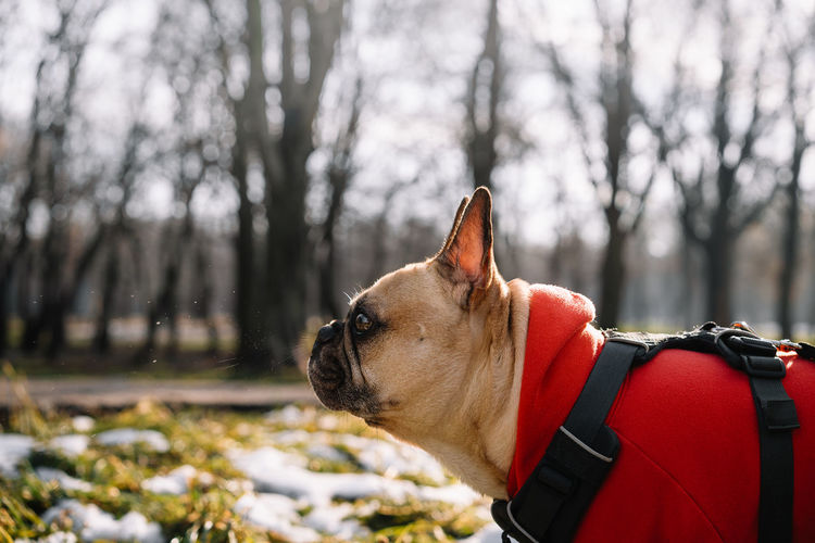 Close-up of a french bulldog dog looking away and sneezing