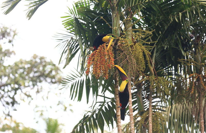 Bird Photography Tucan Birds Tucan Eating Animal Themes Animals In The Wild Bird Food Low Angle View Perching Tucan Tucans