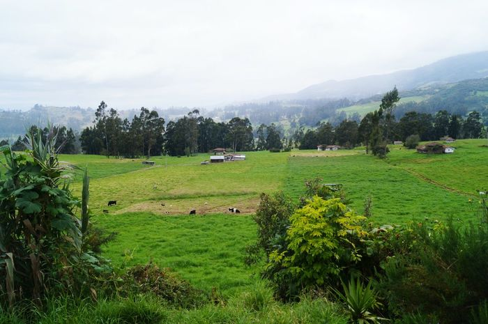 Agriculture Field Nature Farm Landscape Beauty In Nature Tree Rural Scene Outdoors Cloud - Sky Scenics Rice Paddy Green Color No People Growth Tranquility Terraced Field Sky Tea Crop Mountain Ecuador Andes Mountains Grass Mudhouse Farm
