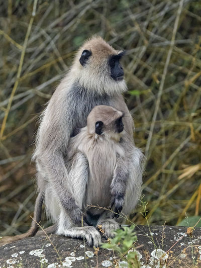 Female Southern Plains Gray Langur (Semnopithecus dussumieri) Animals In The Wild Animal Wildlife Group Of Animals Mammal Two Animals Young Animal Vertebrate No People Primate Nature Togetherness Day Plant Sitting Animal Family Land Outdoors Care Langur