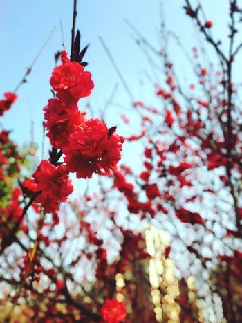 Red Nature Growth Focus On Foreground Freshness Flower Close-up Beauty In Nature Outdoors Branch No People Sky Plant Fruit Low Angle View Tree Day Plum Blossom