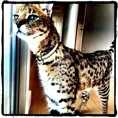 Perfect Blue Eyes Hi! Cat♡ Lovely Cute Pets Cute Cats Magical Meow🐱 Arrr