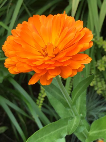 Bright Bright Orange Mums Garden No Edit/no Filter Orange Flower Petals Green Flower Head Beauty In Nature