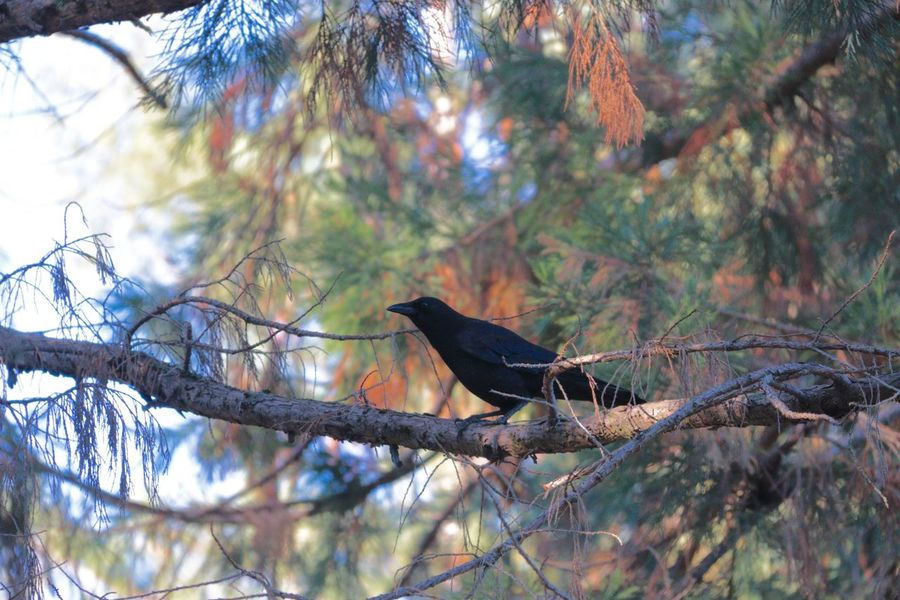 At Science Camp with fifth grade. Bird Tree Animals In The Wild Branch One Animal Perching Nature Animal Wildlife Animal Themes Low Angle View Day Outdoors No People Raven - Bird Beauty In Nature Bird Of Prey Sky Raven Cupertino USA California