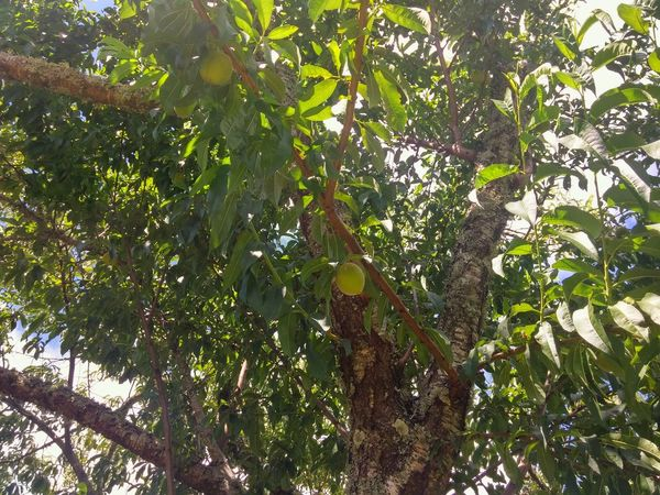😃👋👋For you my dear Laurie😃😃 11:30am Sunday an Ambient 19°C , im looking Skyward . Sitting under my Peachtree sharing my view. Those Peaches🍑 still waiting to Ripen in the Sun 😃🍃 And i can see and Hear my Lovely Nz Bees sun feels so Warm on my back!😃🌞🐝🍑👍 Tree Growth Nature Low Angle View Green Color Beauty In Nature Outdoors Branch Sky 2017 Summer New Zealands Summer😍 Summer ☀ No.7
