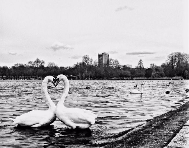 Trying my best to capture s romantic moment True Romance Animal Themes Water Wildlife Swan Lake Waterfront Water Bird Nature Water Surface Messing Around Photography Taking Photos
