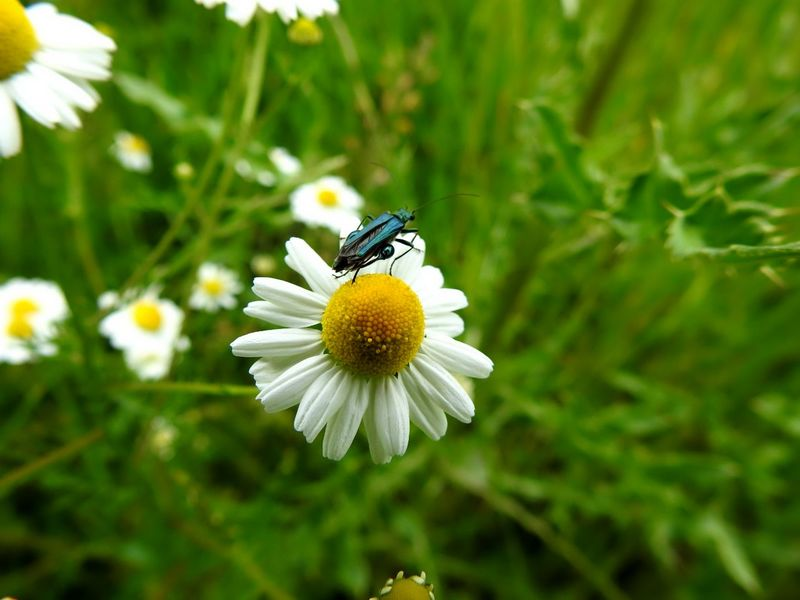 taken by my sweetie❤❤@chaamomilla Chamomilla Flower Head White Color Flower Insect One Animal Fragility Petal Plant Freshness Animals In The Wild Animal Themes Nature No People Focus On Foreground Animal Wildlife Beauty In Nature Day Outdoors Growth Close-up Doğa Beautiful Germany