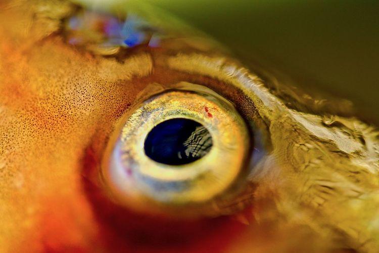 a fish's eye Eye Close-up Selective Focus Body Part Extreme Close-up Sensory Perception Eyeball Iris - Eye Macro Indoors  Detail Animal Eye