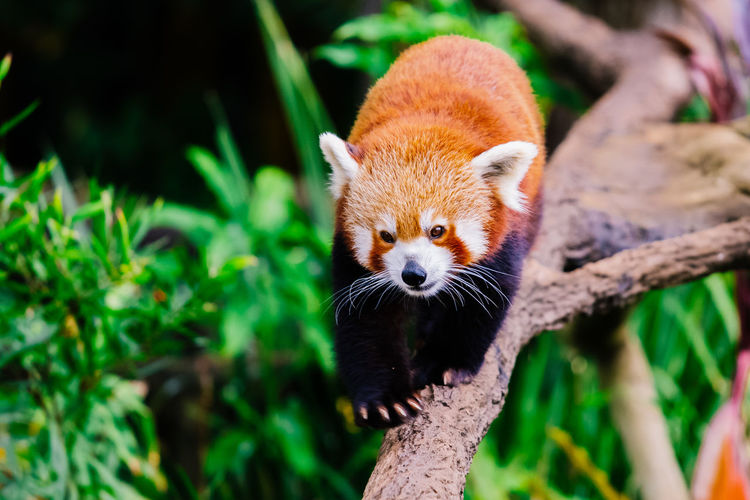 Red Panda walking across a tree branch. Animal Themes Animal Wildlife Animals In The Wild Close-up Day Focus On Foreground Looking At Camera Mammal Nature No People One Animal Outdoors Panda - Animal Portrait Red Panda Tree