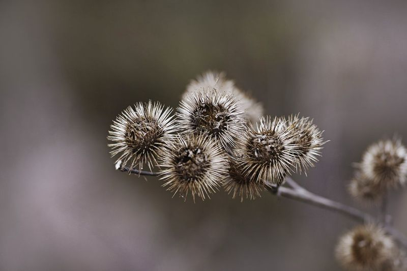 Plant Flower Beauty In Nature Fragility Freshness No People Close-up Focus On Foreground Nature Vulnerability  Flowering Plant Growth Tranquility Outdoors Day Selective Focus Seed White Color Flower Head Botany