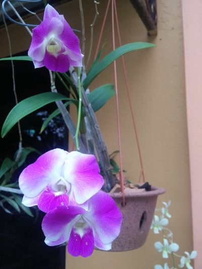 Orchidwhitepurple BEAUTIFUL ORCHIDS Orchidslover Petal Beauty In Nature