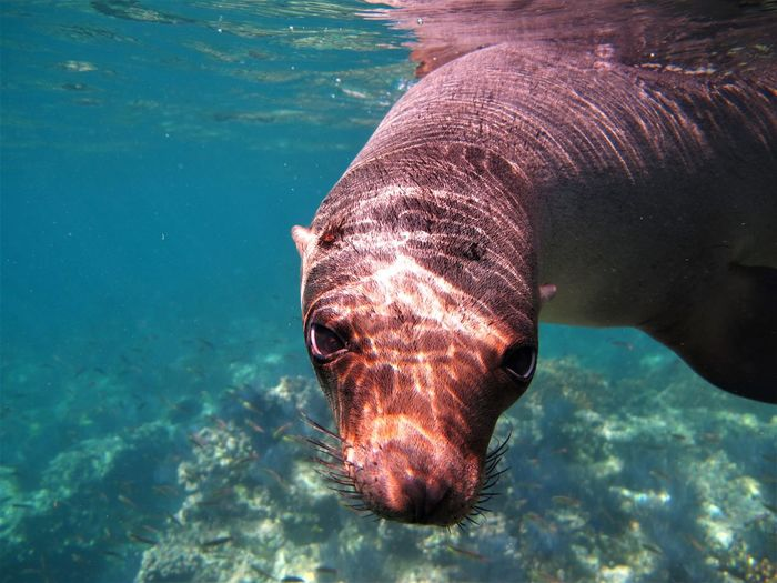 Close-up portrait of seal swimming in sea
