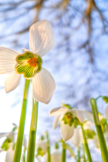 Flower Flowering Plant Plant Fragility Freshness Vulnerability  Beauty In Nature Growth Petal Close-up Flower Head Nature Inflorescence Focus On Foreground No People Plant Stem Blossom Springtime Botany Day Outdoors Pollen Spring Purity Snowdrops