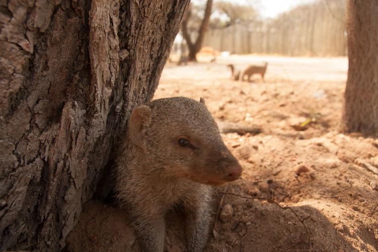 Mongoose Sitting By Tree Trunk On Arid Landscape