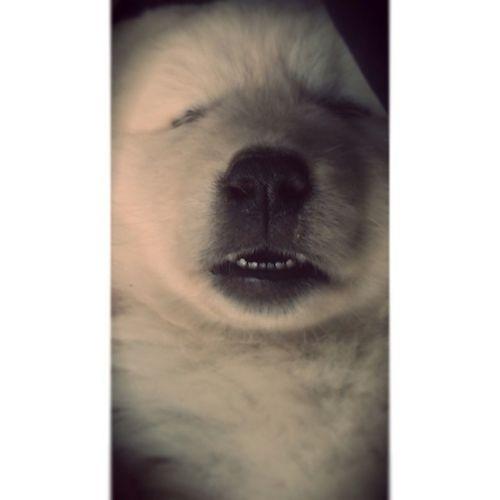 C'ho lo stress! Puppy Dogoftheday Dog Dream indream doglife sleeping dreaming photooftheday picoftheday jj pet pettherapy relax relaxing igersItalia igersAbruzzo igersTeramo