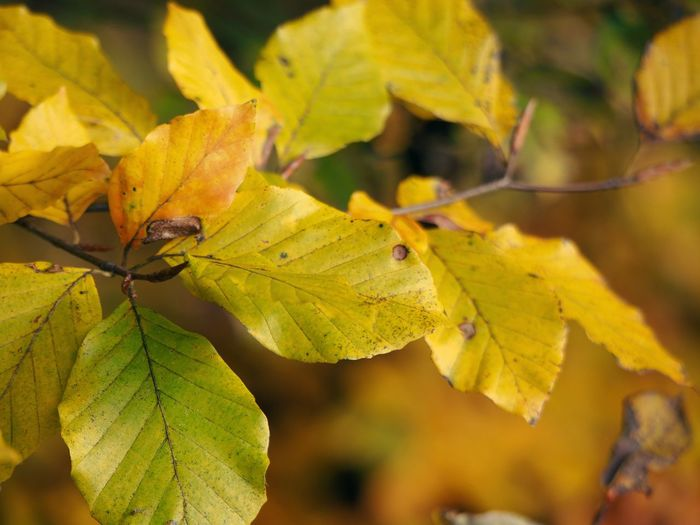 Close-up of yellow leaves during autumn
