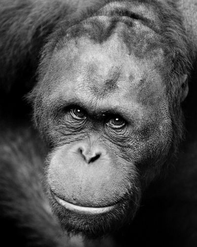 Orang Utan Animal Themes Black And White Animals Black&white Blackandwhite Close-up Day Indoors  Lifestyles Looking At Camera Looking At Camera Mammal Monkey One Animal One Person Orang Utan People Pongo Portrait Primate Real People