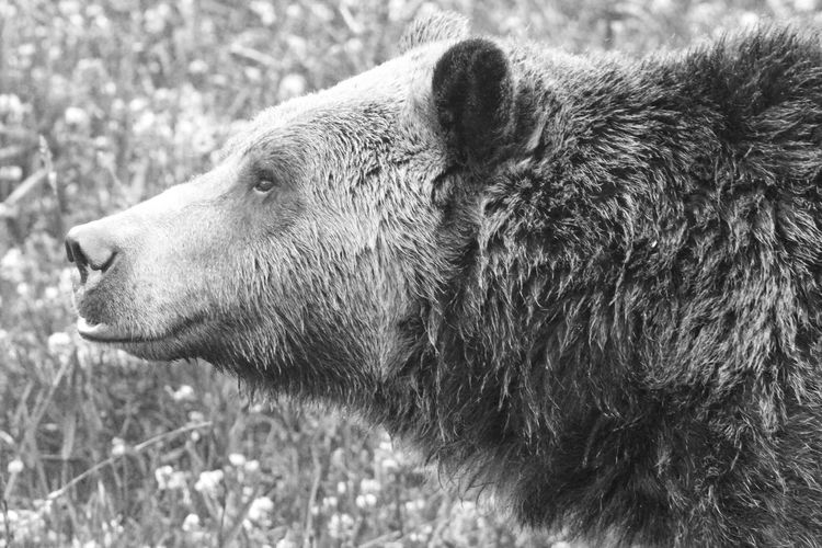Close-Up Of Grizzly Bear On Field