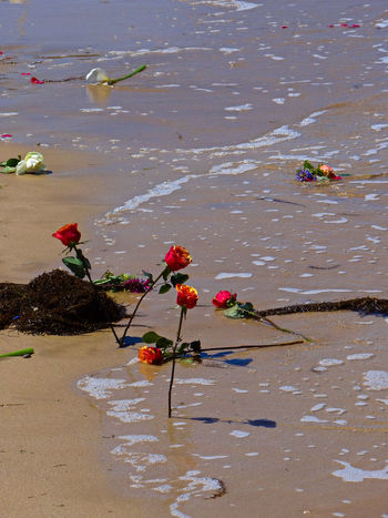 The flowers on the beach of Normandy, after the ashes of a fallen WWII Veteran were laid to rest there. Arromanche France Arromanches Beach Life Beach Photography Close-up D-Day Day Floating On Water Flowers Funeral Funeral Ceremony Gold Beach Nature No People Normandy Normandy Beach Outdoors Red Roses Roses Sand Sand & Sea Sea Seaweed Veterans Water