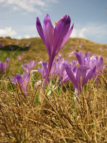 Crocus Flower Beauty In Nature Blooming Close-up Crocus Crocus Flowers Crocuses Spring Day Field Flower Flower Head Fragility Freshness Grass Growth Nature No People Outdoors Petal Plant Purple Sky Tranquility